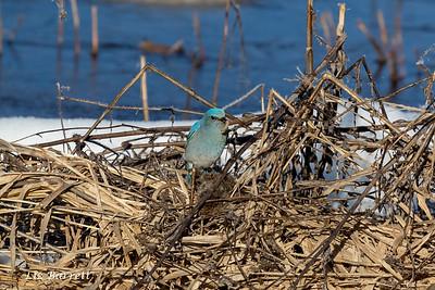 Bluebirds0U2A1256