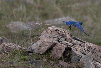 0U2A8188_Bluebird