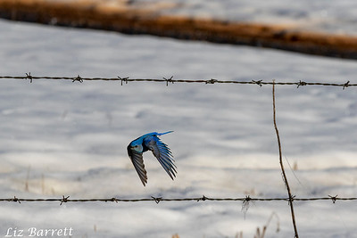 Bluebird202A7666