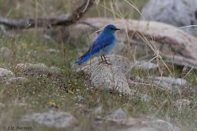 0U2A8180_Blue bird
