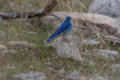0U2A8181_Blue Bird