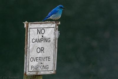 0U2A8168_Bluebird No Camping