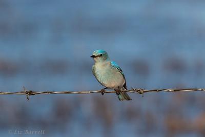 0U2A1264 Bluebird