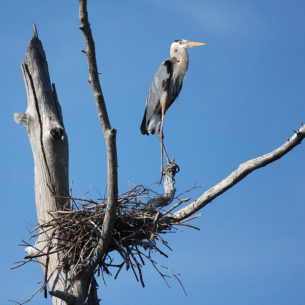 3775 A great blue heron in breeding plumage stands by the nest that it's building for its expected parenting season.