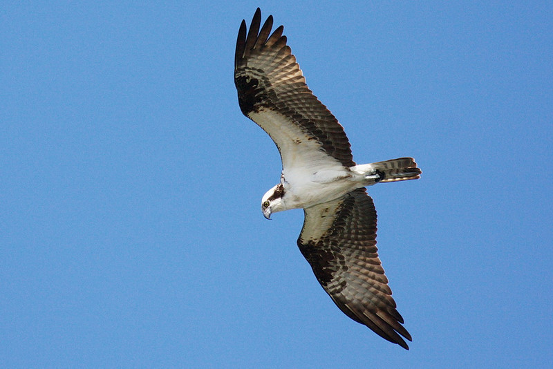 3849 An osprey is a bird of a different feather... and lifestyle. A serious predator, one soars high above us, looking for a fish to catch.