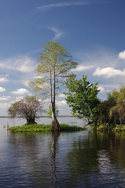 3952 A bald cypress tree stands guard at the southeast corner of M Canal. Many bald cypress trees line the shores and even grow out in the middle of Blue Cypress Lake. It's a beautiful lake and the airboat ride was interesting, invigorating, and fun. (Polarizing filter used.)