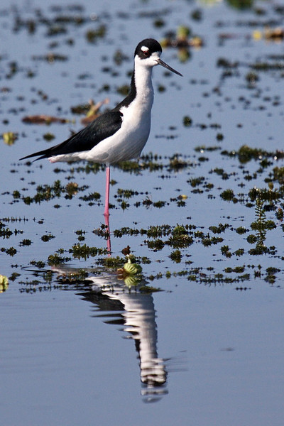 3863 This black-necked stilt balances on one of its skinny legs while it keeps its other leg in its pocket, and its reflection does the same! A stilts has pretty markings, but its long, straight beak looks just stuck into its oddly shaped face.
