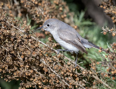 Blue gray Gnatcatcker