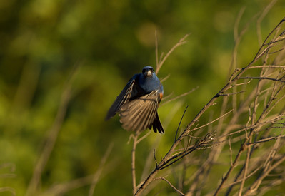 Blue grosbeak (Passerina caerulea) in a one click moment