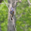 Blue Grosbeak (Male) - in the molting stage