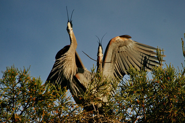 Blue Herons Building Nest Jan 2011