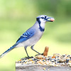 "Pig-Jay, our Blue Jay, is planning on ""take-out"" for today's lunch!"