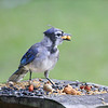 The youngest Blue Jay, Ralph, resembles his dad Pig-Jay with table manners!