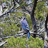Blue Jay <br /> Blue Heron Nature Trail on North Beach<br /> Tybee Island, Georgia<br /> Chatham County