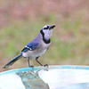 Pig-Jay, our noisy Blue Jay, will enjoy some quiet time at the pool.