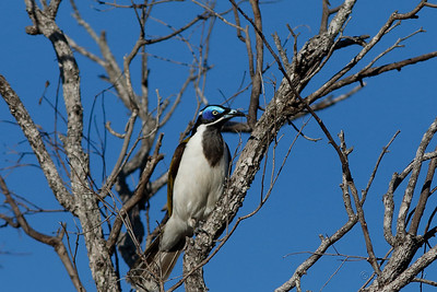 Blue-faced Honeyeater - North Queensland Subspecies