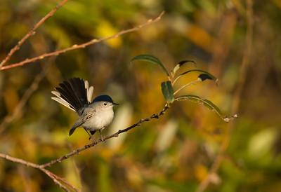 Blue-gray Gnatcatcher, SBWR, 3-Jan-2013