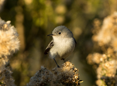 Blue-gray Gnatcatcher perched close by in some nice warm pre-evening lighting, SBWR, 4-Jan-2013.