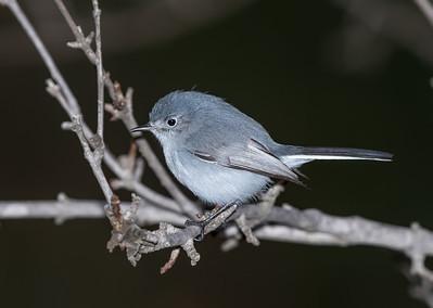 Blue-gray Gnatcatcher weighing in, 29-Dec-2012