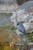 Blue heron.