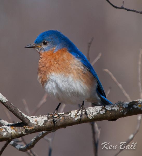 Constance Bay, eastern bluebird: Sialia sialis