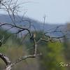 Eardley, eastern bluebird: Sialia sialis