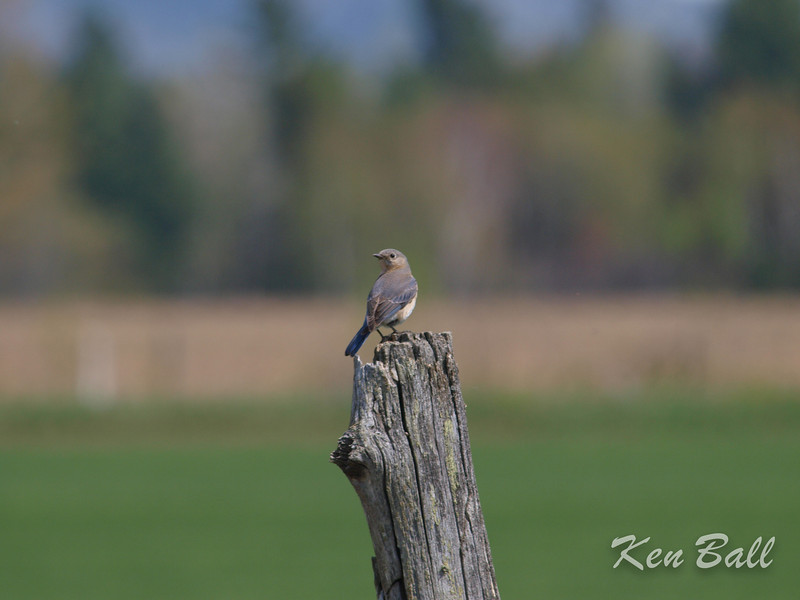 Eardley, eastern bluebird: Sialia sialis, female