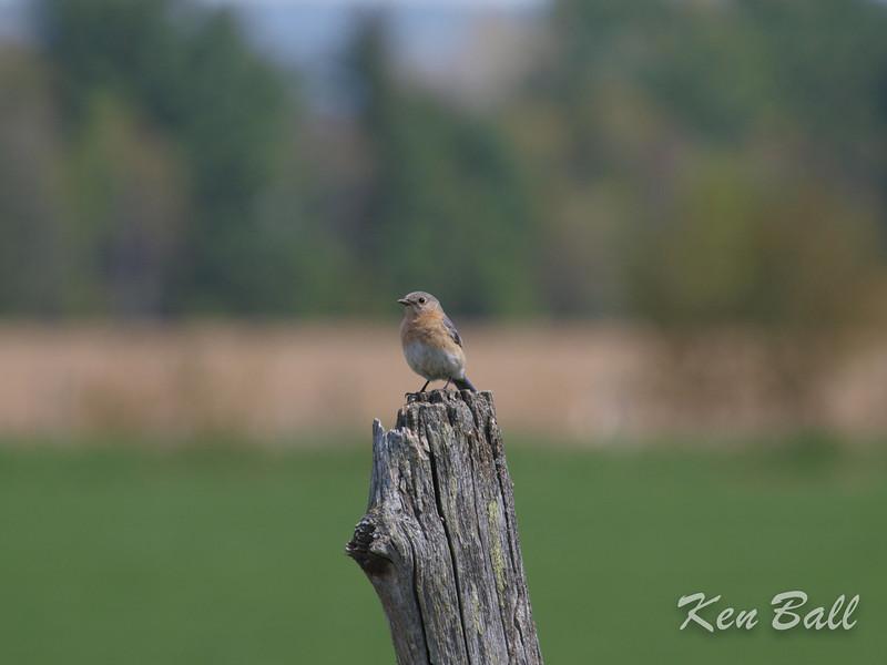 Eardley, eastern bluebird: Sialia sialis, female