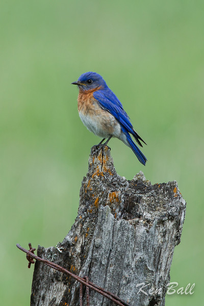 Bowsville South Airport, eastern bluebird: Sialia sialis<br /> Thankfully special nesting boxes are saving this beautiful thrush