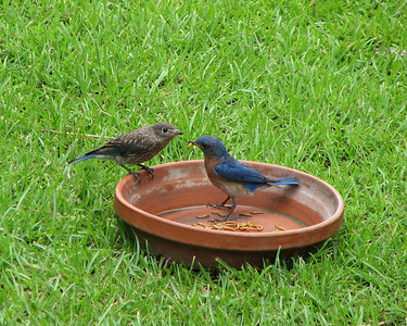 Bluebird Feeding Time