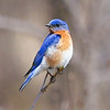 Eastern Bluebird perched on a Branch looking Left