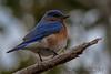 Eastern Bluebird (b0045)