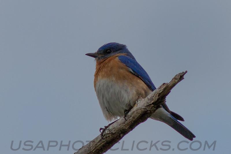Eastern Bluebird (b0044)