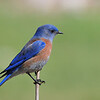 Western Bluebirds are year-around residents at Big Morongo Canyon Preserve and at Covington Park,<br /> Morongo Valley,CA.