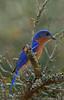 Eastern Bluebird (b0042)