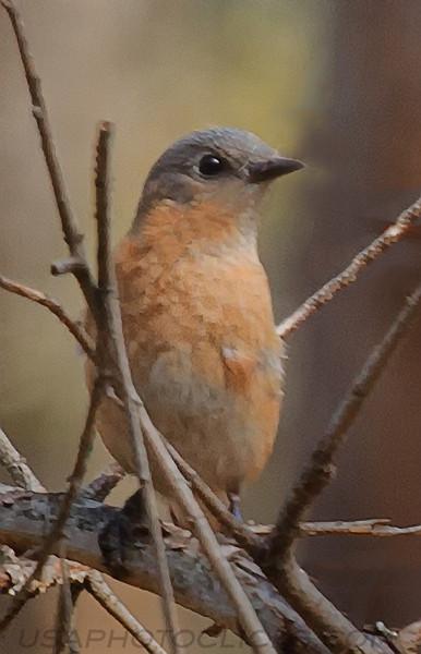 Eastern Bluebird (0041)