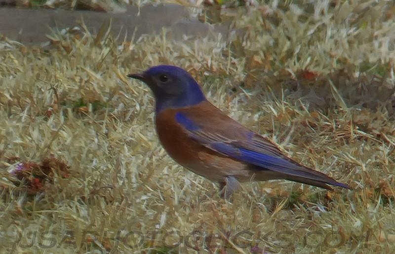 Western Bluebird (b0061)