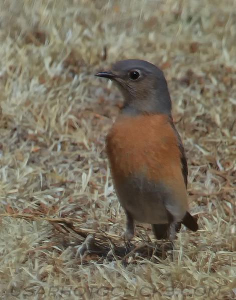 Western Bluebird (b0062)
