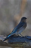Mountain Bluebird (b0051)