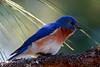 Eastern Bluebird (b0046)
