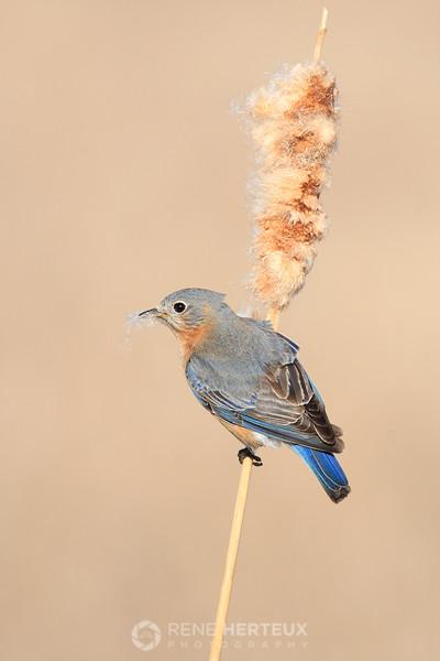 Female bluebird picking nesting material