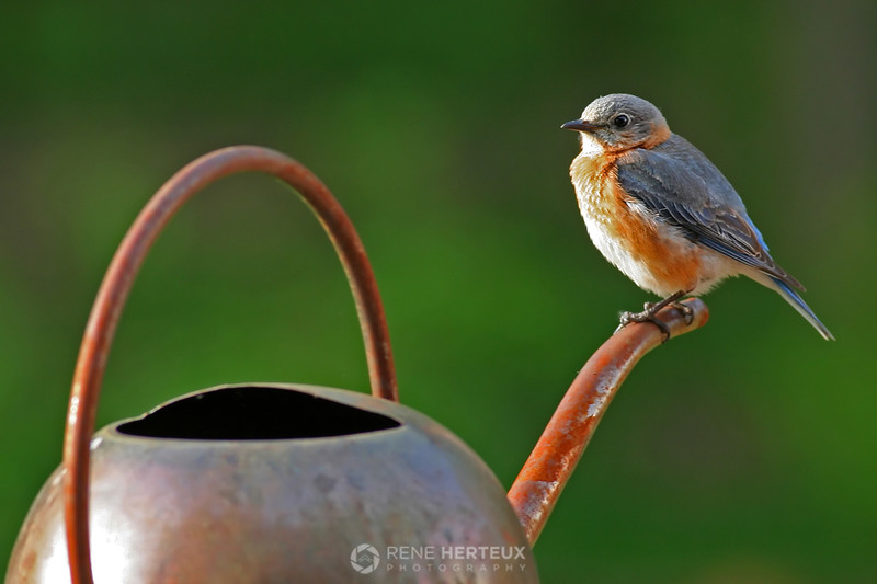 Eastern bluebird on watering can