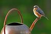Eastern bluebird on watering can