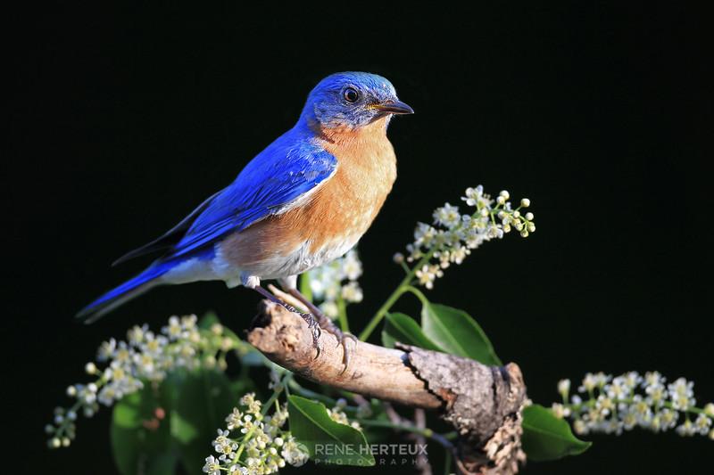 Bluebird in flowers