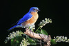 Bluebird in flowers