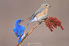 Male and female bluebird eating sumac