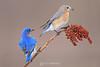 Male and female bluebird eating sumac
