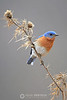 Eastern bluebird on weed