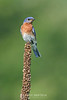 Eastern bluebird on dried weed
