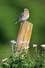 Eastern bluebird (female) on fence post